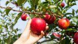 Misketten Gelen Güzellik: Amasya Elması