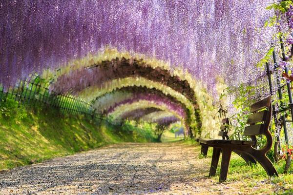 Wisteria Çiçek Tüneli, Japonya