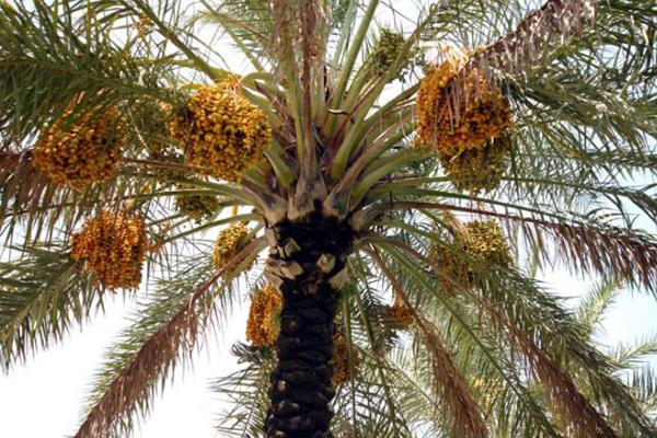 hurma_ağacı