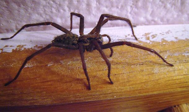 örümcek_çeşitleri