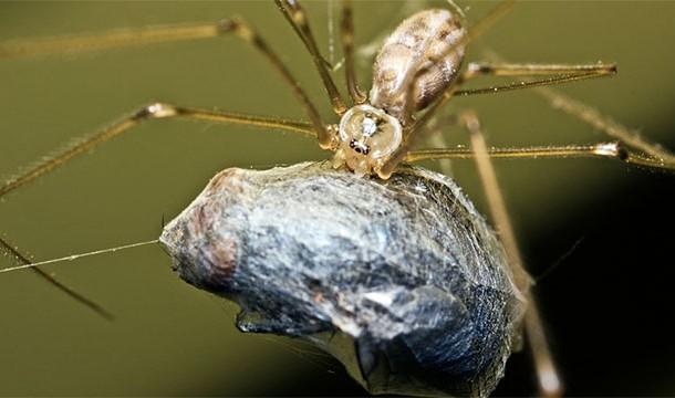 dişi_örümcek