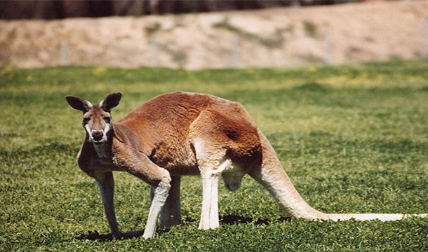 vahşi_kanguru