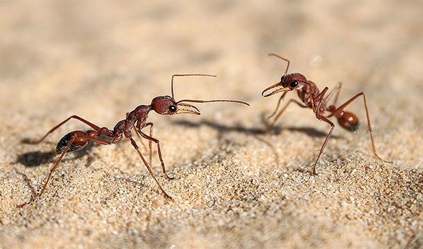 tembel_karınca