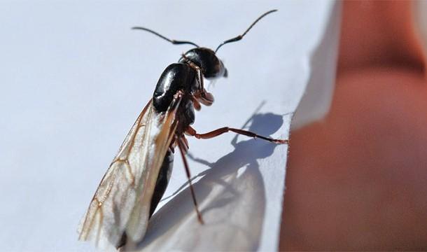 uçan_karıncalar