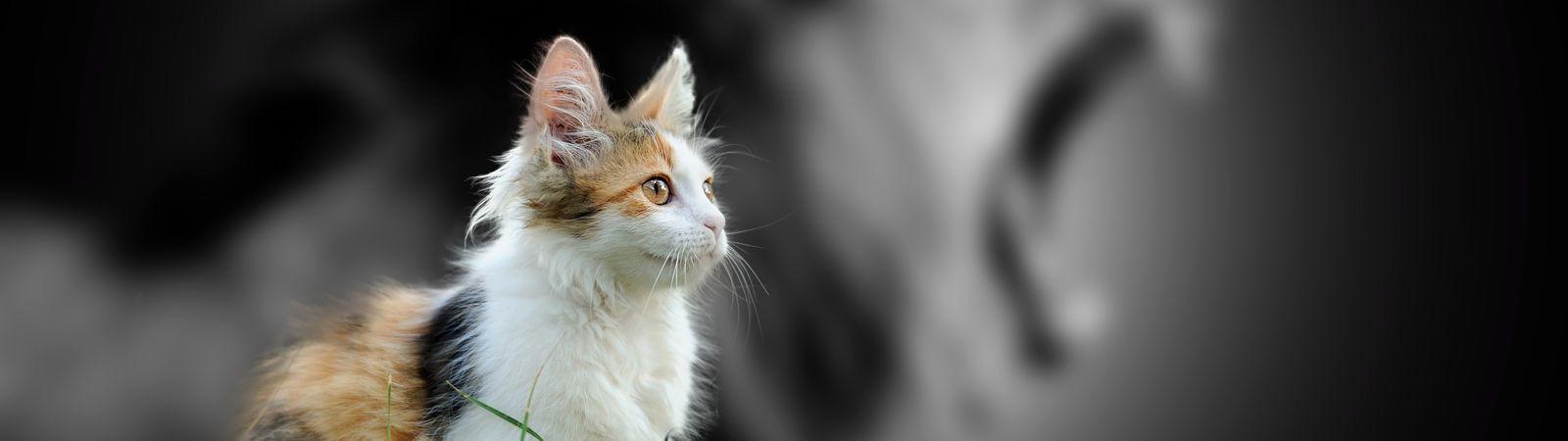 kedi-kaplan