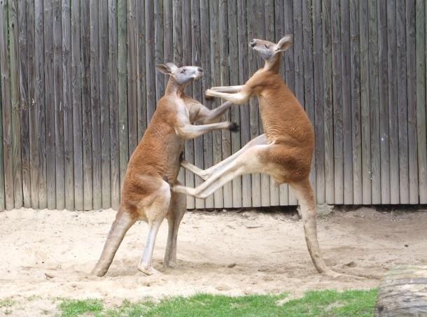 tekme_atan_kanguru