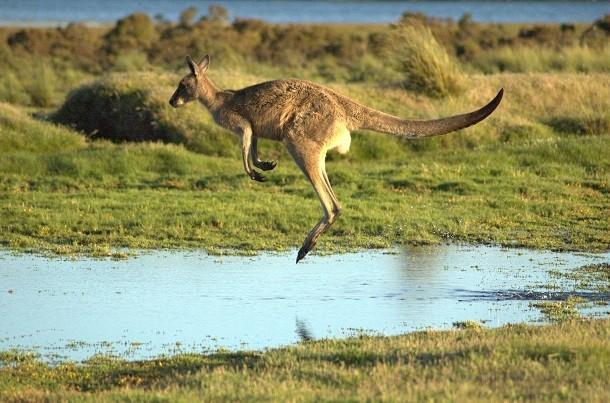zıplayan_kanguru