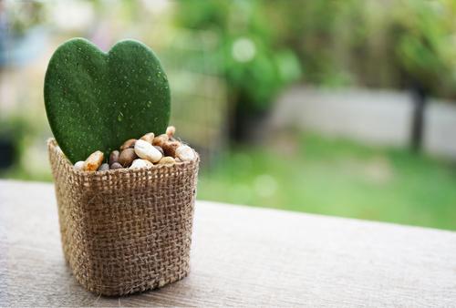 kaktusun-faydalari